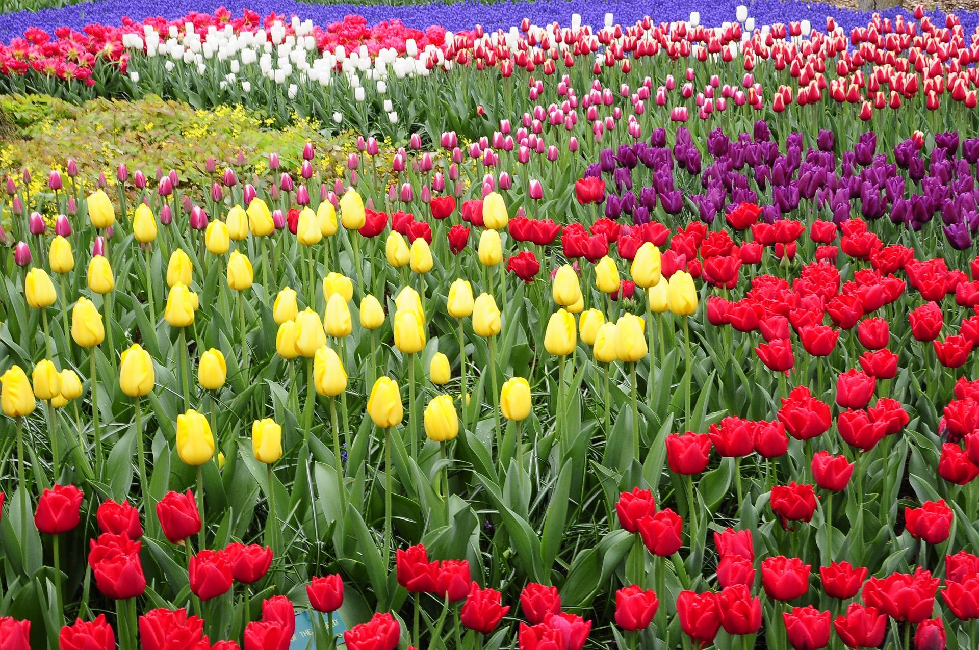 tulip-4600894_1920